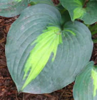 Lakeside Beach Captain Hosta - 4.5 Inch Container