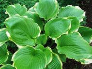 Winter Snow Hosta - 4.5 Inch Container