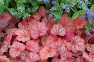 Heuchera 'Georgia Peach' PP19375 - 65mm Starter Plug