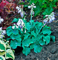 Church Mouse Hosta - 35mm Starter Plug