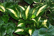 American Sweetheart Hosta From NH Hostas