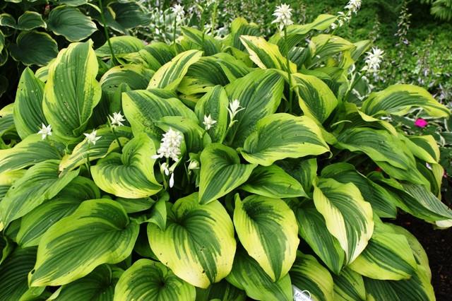 Online Plant Guide - Hosta 'Albo-Marginata' / Silver Crown Hosta