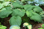 Hoosier Dome Hosta - 4.5 Inch Container