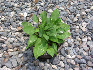 Craig's Temptation Hosta - 3 Inch Container