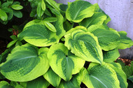 Climax Hosta - 4.5 Inch Container