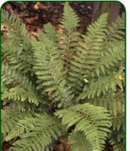 Hard Shield Fern