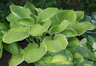 Parhelion Hosta - Two Gallon