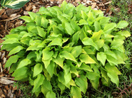 Feather Boa Hosta - 3 Inch Container