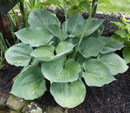 Blue Dolphin Hosta - 4.5 Inch Container