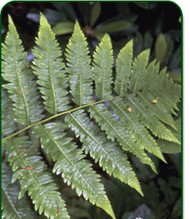 Goldie's Giant Wood Fern