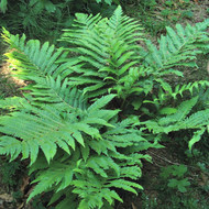 Goldie's Giant Wood Fern - 4.5 Inch Container