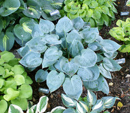 Camelot Hosta - 4.5 Inch Container