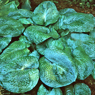 Blackjack Hosta