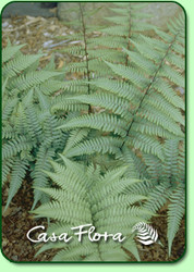 Ghost Fern - 4.5 Inch Container