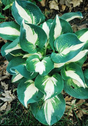 Half and Half Hosta - 65mm Starter Plug