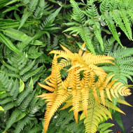 Golden Mist Wood Fern - 4.5 Inch Container
