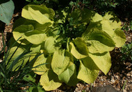 Zounds Hosta - 4.5 Inch Container