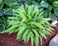 Hart's Tongue Hosta - 3 Inch Container
