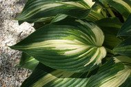 Sharp Dressed Man Hosta - 4.5 Inch Container