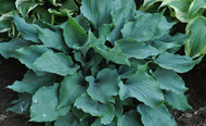Winter Frost Hosta - 4.5 Inch Container