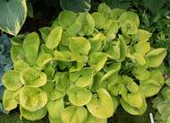 Maui Buttercups Hosta - 65mm Starter Plug