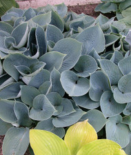 Hadspen Blue Hosta - 4.5 Inch Container