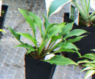 Dixie Chick Green Hosta - 3 Inch Container