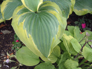 Seducer Hosta PP22413 - 4.5 Inch Container