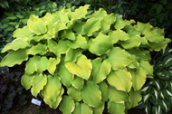 Lakeside Cha Cha Hosta - 4.5 Inch Container