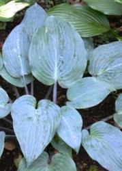 Mr. Blue Hosta - 4.5 Inch Container