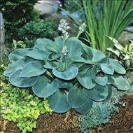 Blue Mouse Ears Hosta - 3 Inch Container