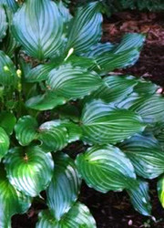 Lakeside Coal Miner Hosta - 4.5 Inch Container
