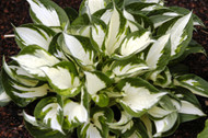 Loyalist Hosta - 4.5 Inch Container