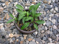 Paradise Puppet Hosta - 3 Inch Container