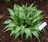 Corkscrew Hosta - 3 Inch Container