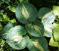 Dream Weaver Hosta Starter Plug