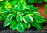 Afterglow Hosta Courtesy of Walters Gardens