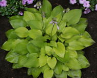 Wogon Gold Hosta - 3 Inch Container