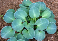 Blue Mouse Ears Hosta - 35mm Starter Plug