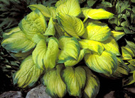 Stained Glass Hosta - 4.5 Inch Container