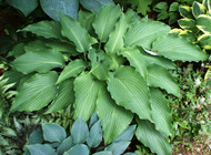 Cutting Edge Hosta - Two Gallon