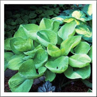 Aladdin's Lamp Hosta Courtesy of Q&Z Nursery