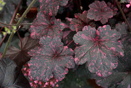 Heuchera 'Midnight Rose' Courtesy of Walters Gardens