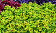 Heucherella 'Leapfrog' Courtesy of Walters Gardens