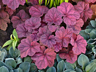 Heuchera 'Lava Lamp' Courtesy of Walters Gardens