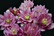 Helleborus 'Maid of Honor'