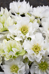 Helleborus 'Wedding Bells' Courtesy of Walters Gardens