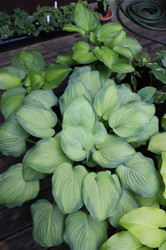 Ambrosia Hosta Courtesy of Bob Solberg