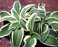 Funny Mouse Hosta Courtesy of Naylor Creek