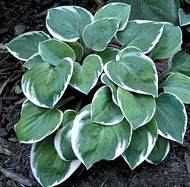 Country Mouse Hosta - 3 Inch Container